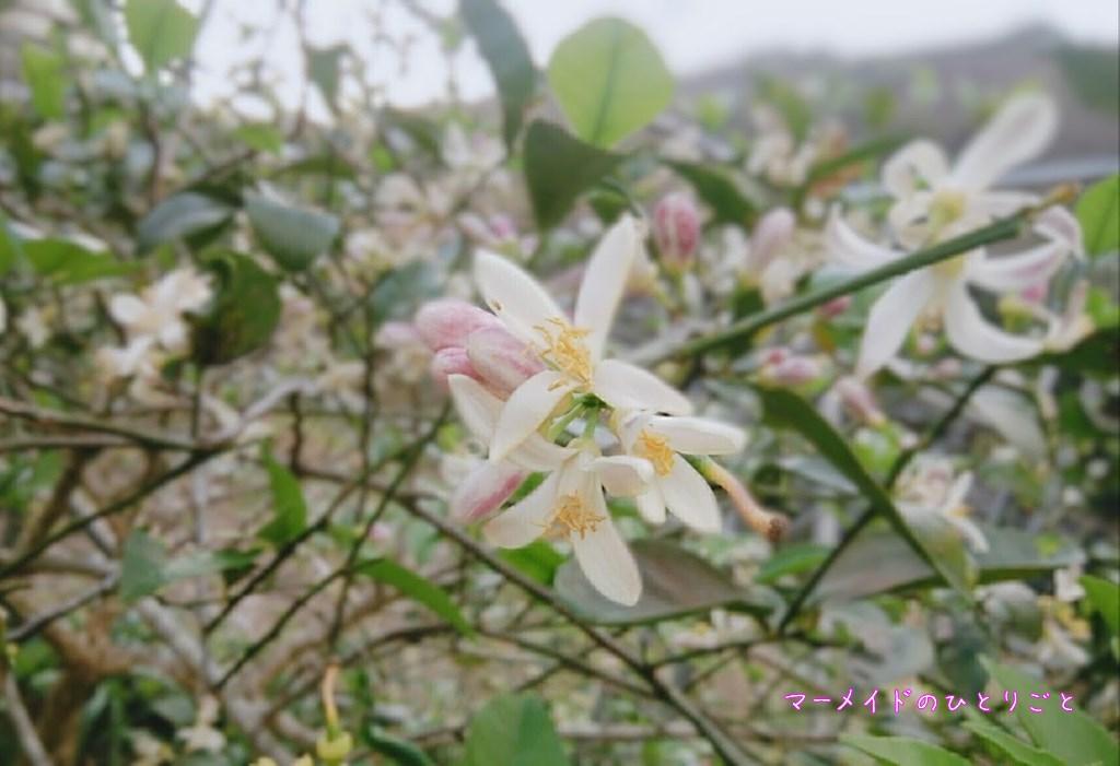 島レモン レモンの花 小笠原