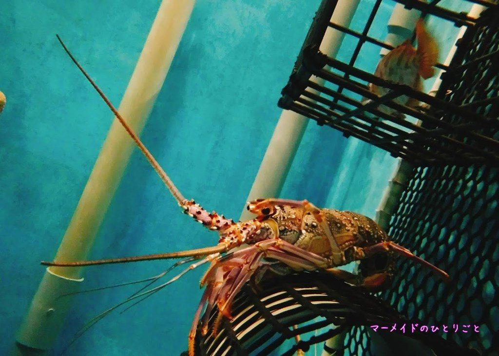 小笠原水産センター 水族館 アカイセエビ