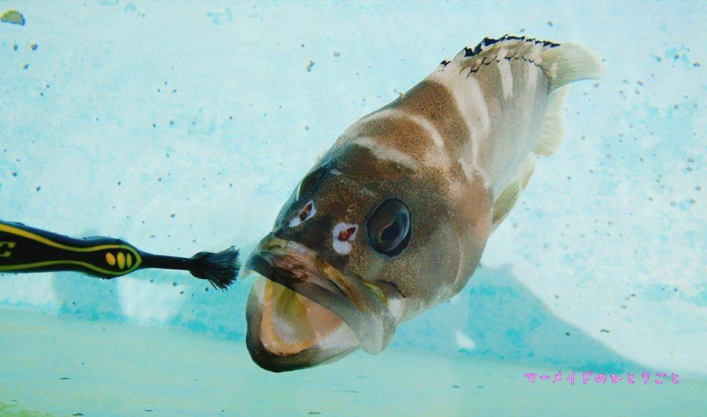 小笠原水産センター 水族館 アカバ 魚の歯みがぎ