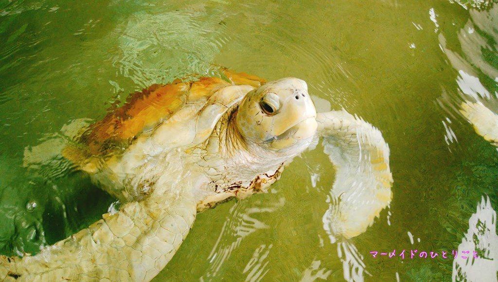 小笠原海洋センター アオウミガメ アルビノ