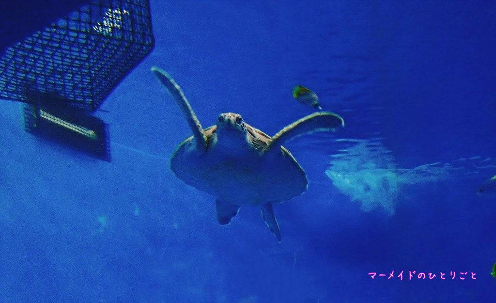 小笠原水産センター 水族館 アオウミガメ