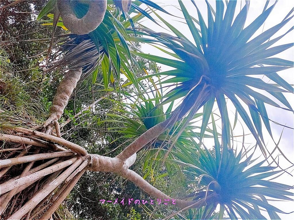 タコノキ 小笠原