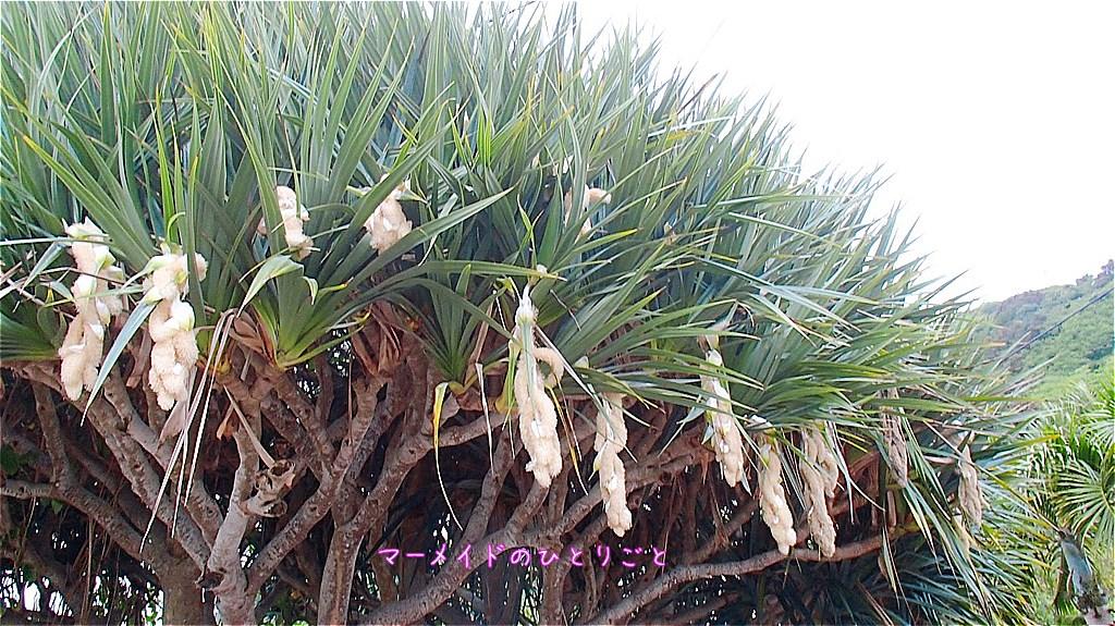 タコノキ 小笠原 タコノキの花
