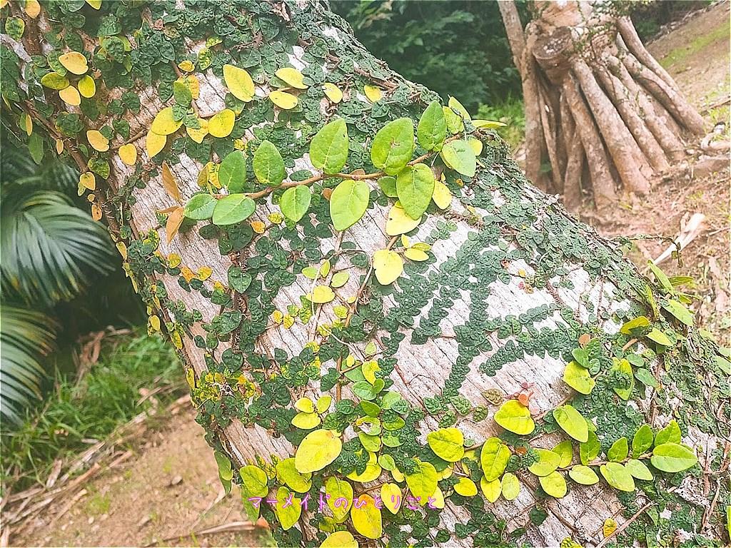 オオイタビ 壁面緑化